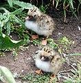 Tern chicks beside the walkway, Inner farne - geograph.org.uk - 1379324.jpg