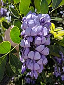 Texas mountain laurel flowers in El Paso, TX.jpg
