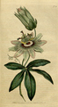 The Botanical Magazine, Plate 28 (Volume 1, 1787).png