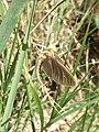 The Giant Mayfly male.jpg