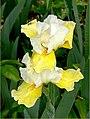 The Iris (3) (8096398703).jpg