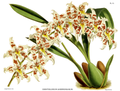 The Orchid Album-01-0107-0035-Odontoglossum andersonianum.png
