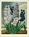 The Temple of Flora, Hyacinth.jpg
