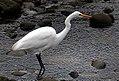 The White Heron (Kotuku) NZ (18189179705).jpg