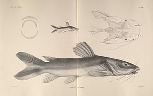 Clarotes laticeps, Zeichnung aus The fishes of the Nile von  George Albert Boulenger.
