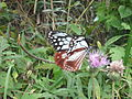 The migrating butterfly in Mt. Takao.jpg
