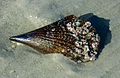 There were millions of these shells on Sanibel Island (8298666344).jpg