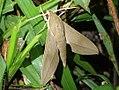 Theretra clotho vincenti (Philippines, Luzon, Nueva Ecija, Dalton Pass) (Desmond Allen) male.jpg