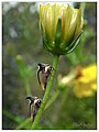 Thorn mimic Treehopper (15142590719).jpg