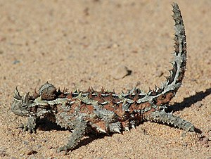Thorny devil - A thorny dragon in Western Australia