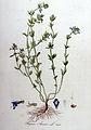 Thymus acinos — Flora Batava — Volume v9.jpg