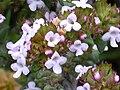 Thymus vulgaris FlowerCloseup 2010 5 09 DehesaBoyaldePuertollano.jpg