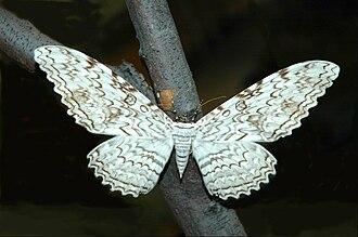 Thysania agrippina - White witch moth  Thysania agrippina