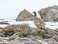 Tibetan Snowcock (Tetraogallus tibetanus) (48618107562).jpg