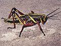 Tier Heuschrecke schwarz gelb Everglades Florida USA.jpg