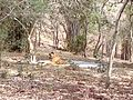 Tiger image35.jpg
