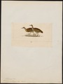 Tinamus noctivagus - 1820-1860 - Print - Iconographia Zoologica - Special Collections University of Amsterdam - UBA01 IZ18900237.tif