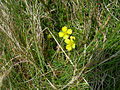 Tormentil (Potentilla erecta) - geograph.org.uk - 421563.jpg