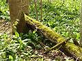 Toter Baum mit Moos1.JPG