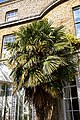 Trachycarpus fortunei Chusan palm at Myddelton House, Enfield, London.jpg