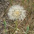 Tragopogon dubius 5.jpg