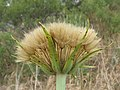 Tragopogon porrifolius head12 Dubbo - Flickr - Macleay Grass Man.jpg