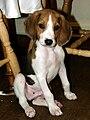 Treeing-walker-coonhound-puppy-indie.jpg