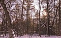 Trees and Sun - Winter at Wild River State Park, Minnesota (42927929475).jpg