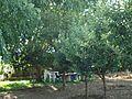 Trees in my garden in Jbaa - panoramio - Ghassan Mroue.jpg