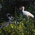 Tricolored Heron and White Ibis (41992078381).jpg