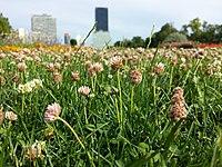 Trifolium fragiferum (subsp. fragiferum) sl20.jpg