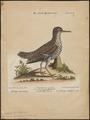Tringoides macularius - 1700-1880 - Print - Iconographia Zoologica - Special Collections University of Amsterdam - UBA01 IZ17400143.tif
