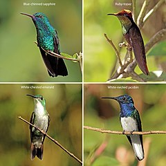Trinidad and Tobago hummingbirds composite.jpg