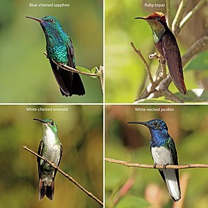 Natural history of Trinidad and Tobago - hummingbirds of Trinidad and Tobago