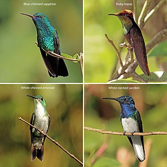 Hummingbird - Four hummingbirds from Trinidad and Tobago