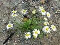 Tripleurospermum maritimum 09.jpg
