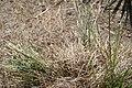 Tripsacum dactyloides var. floridanum 5zz.jpg