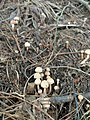 Tubaria furfuracea 66509764.jpg