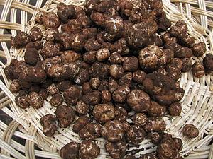 Tuber (fungus) - Tuber gibbosum