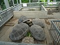 Turtles, Atagawa 01.jpg