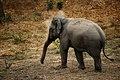 Tuskless bull Asian Elephant in Huai Kha Khaeng wildlife sanctuary (15942505646).jpg