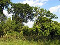 Two Oak Trees in Middle Wood - geograph.org.uk - 25979.jpg