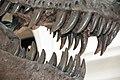 Tyrannosaurus rex (theropod dinosaur) (Hell Creek Formation, Upper Cretaceous; near Faith, South Dakota, USA) 32.jpg
