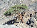 Un arbre pousse dedans les pierres - panoramio.jpg