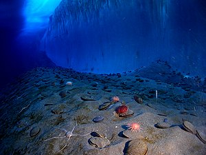 Marine life and ocean floor in front of ice wall in McMurdo Sound