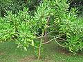 Unidentified Plants from Kerala 2016-01-29.JPG