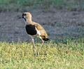 Unknown birds in Maracaibo, Venezuela 2.jpg
