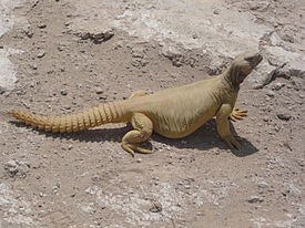 Uromastyx-unknown.JPG