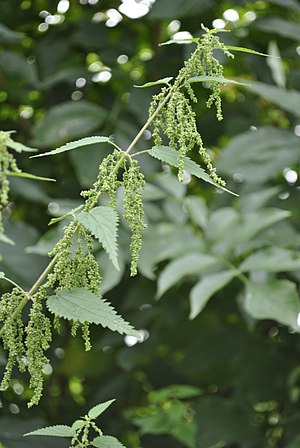 Urtica - Detail of female flowering stinging nettle.