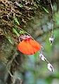 Utricularia campbelliana.JPG